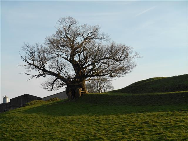 Wharton Oak (Small)